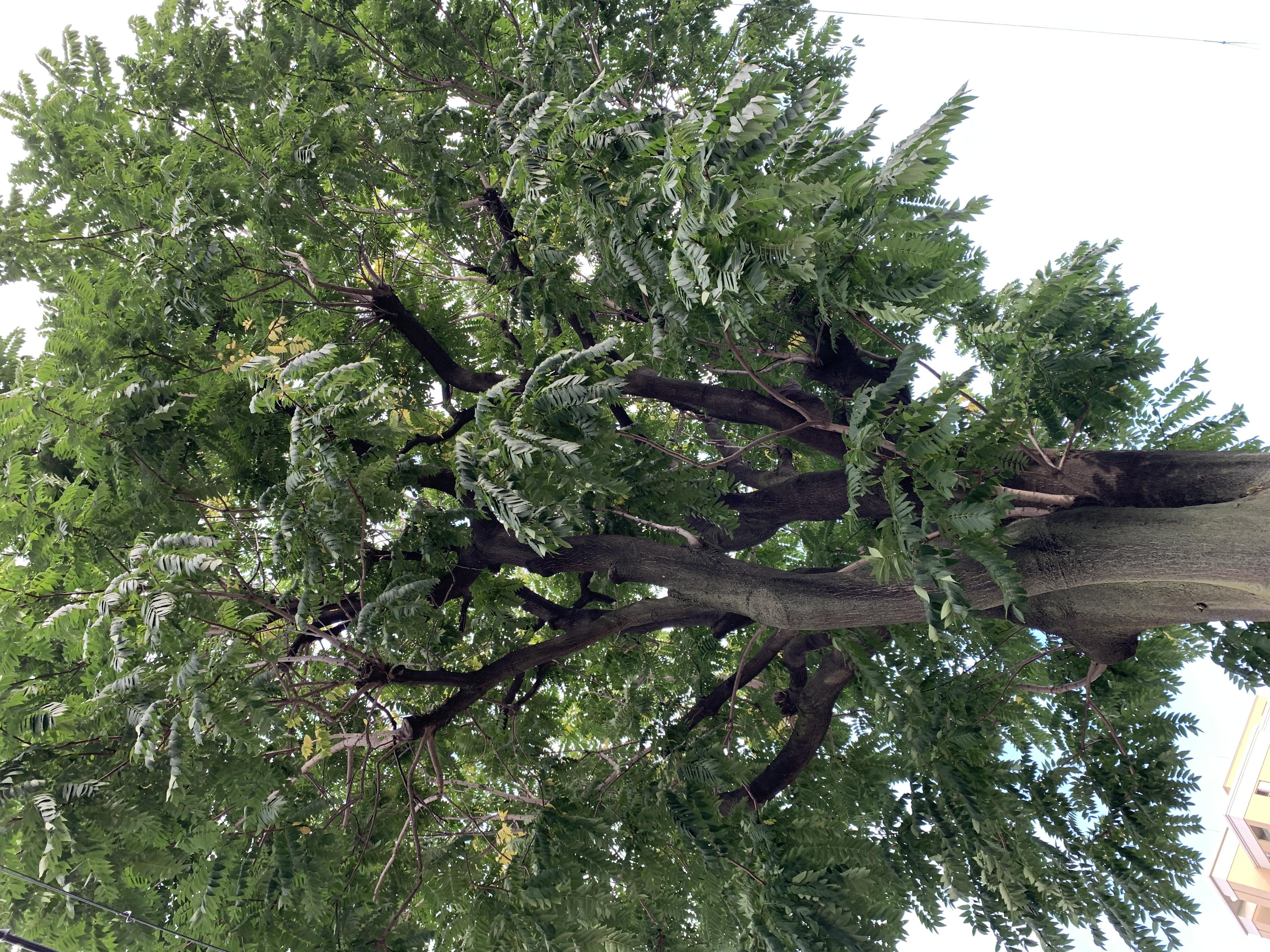 [ブログ]四天王寺界隈ぶらぶらしてたら巨木発見。
